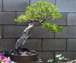 Hollywood Juniper