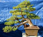Prostrate juniper